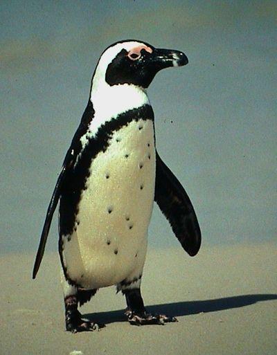 Jackass-Penguin